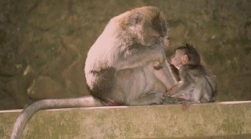 Macaques at Monkey Forest