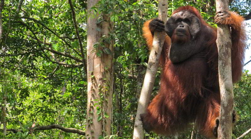 expeditions indonesia detail central borneo orangutan odyssey