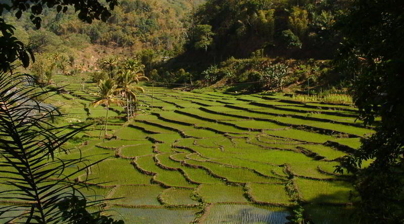 Rice Paddies are also common outside Bali