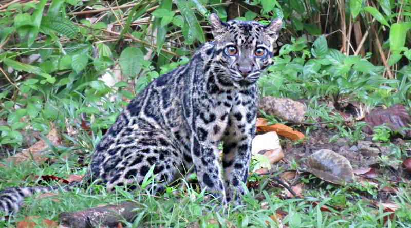Clouded Leopard © Tabin Wildlife Resort