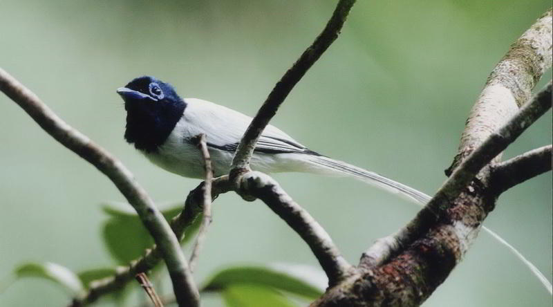 Indian paradise flycatcher © Tabin Wildlife Resort