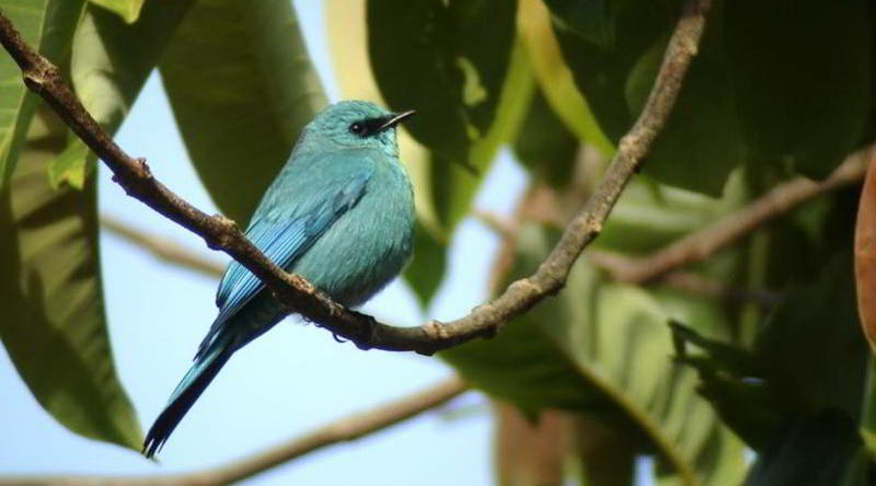Verditer flycatcher © Tabin Wildlife Resort