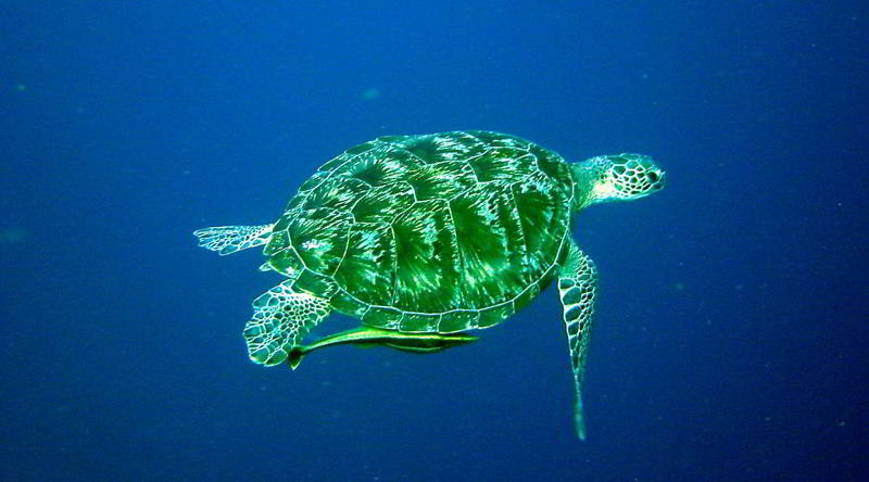 Turtle © Siladen Resort